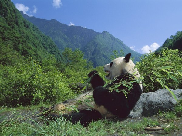 Giant_Panda_Eating_Bamboo_Wolong_Nature_Reserve_Sichuan_China